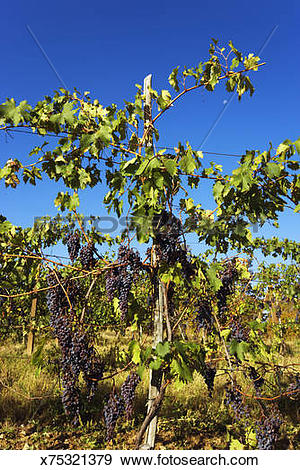 Stock Photograph of Wine (vitis vinifera) plant with fruits.