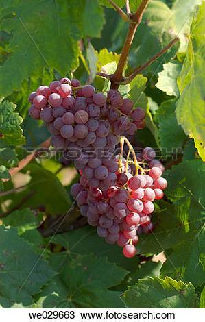 Stock Photo of Black grapes (Vitis vinifera, var. Xarel.lo). Moi.