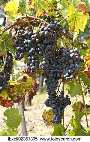 "Stock Image of ""Red Grapes (Vitis vinifera), vine in a vineyard."