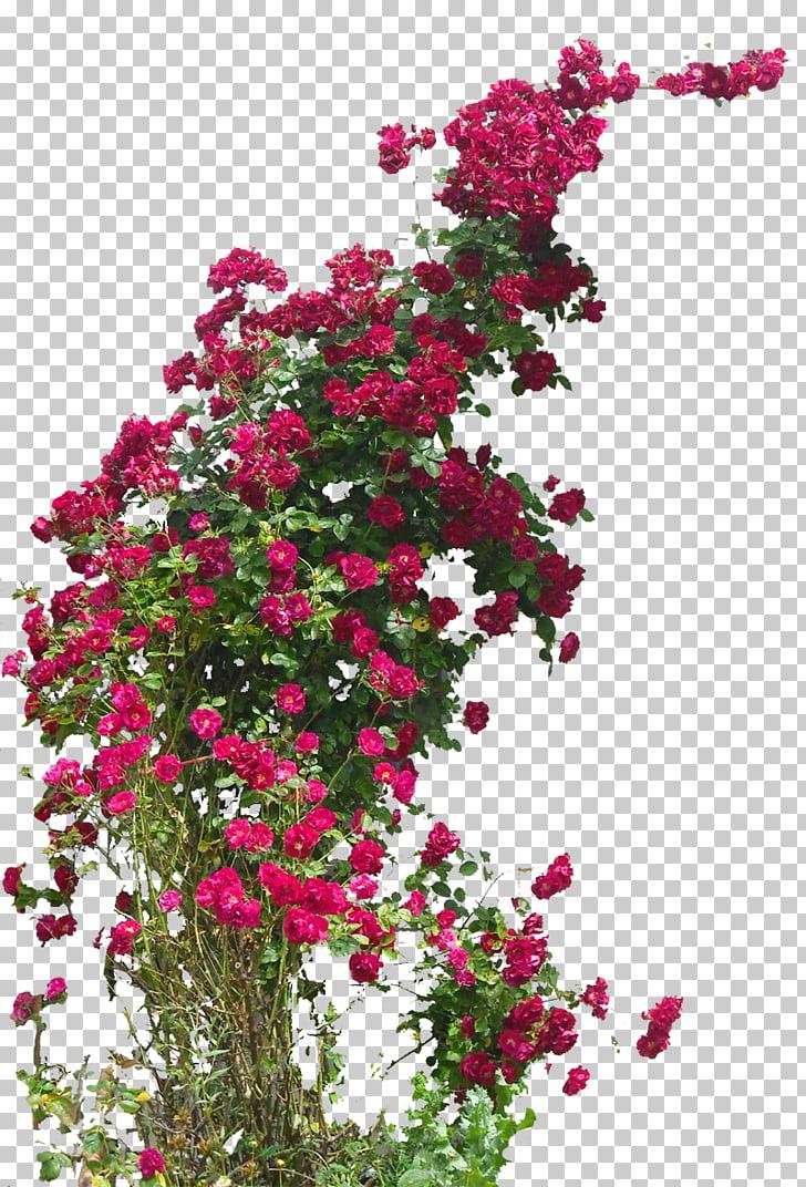 Damask rose Field rose Flower Hybrid tea rose Rambler.