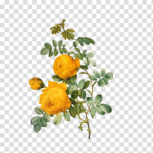 Vintage Flora Items, yellow roses in bloom illustration.
