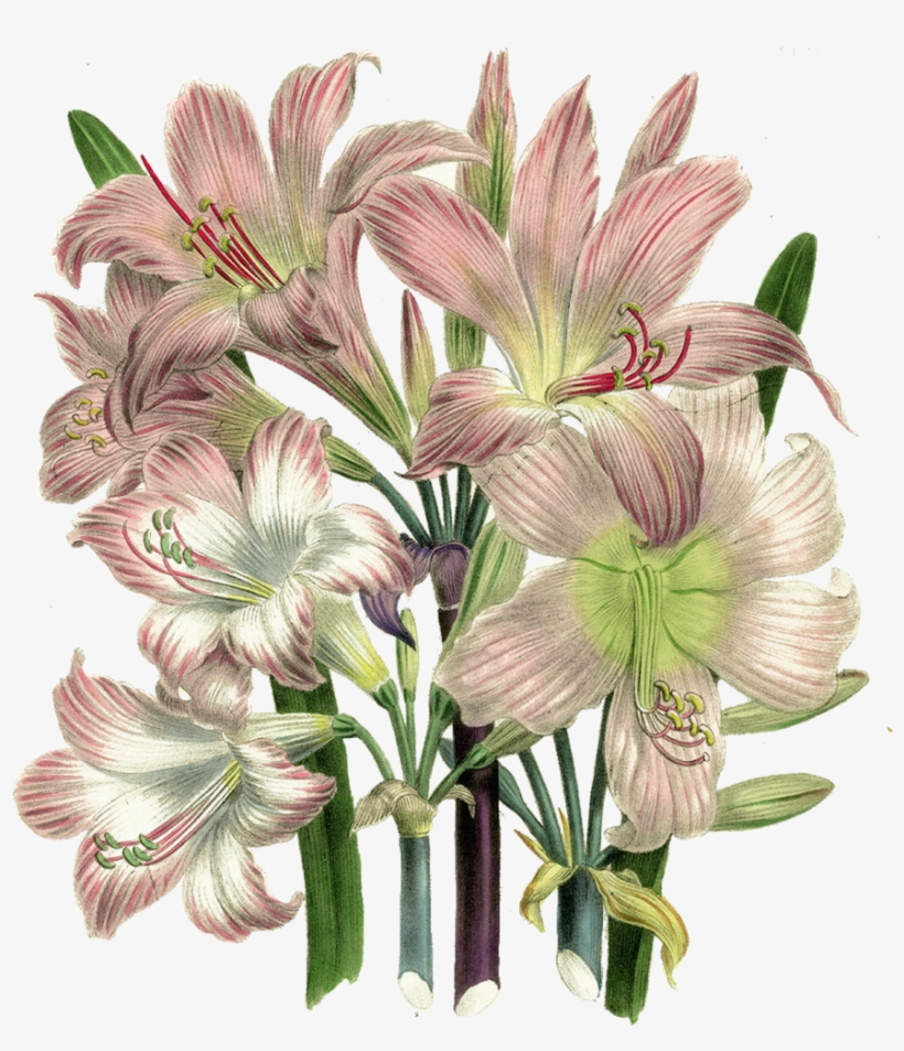 Vintage Flower Clipart Lillies.
