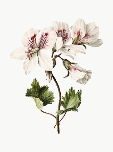 Vintage illustration of Branch of Azaleas in Bloom.