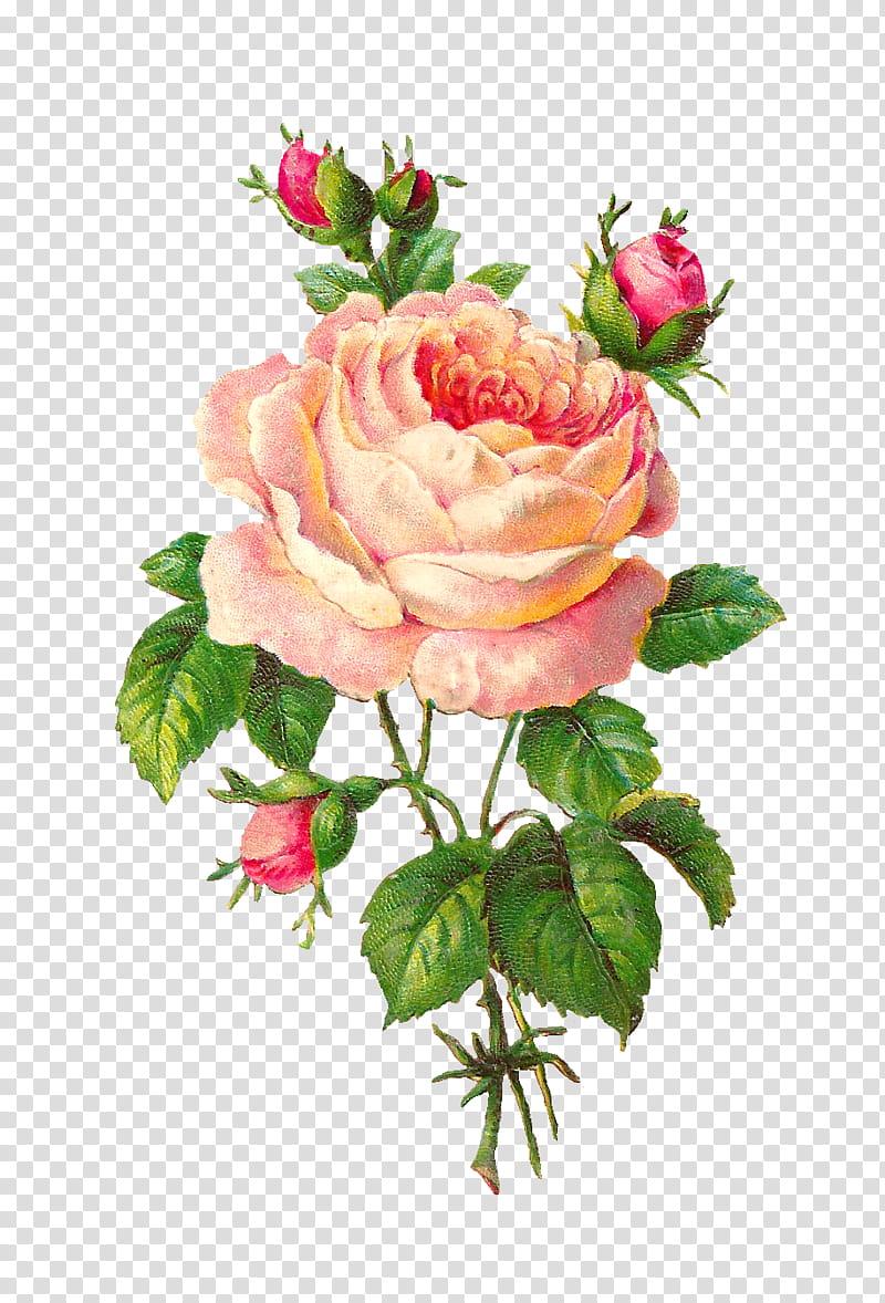 Pink roses in bloom illustration transparent background PNG.