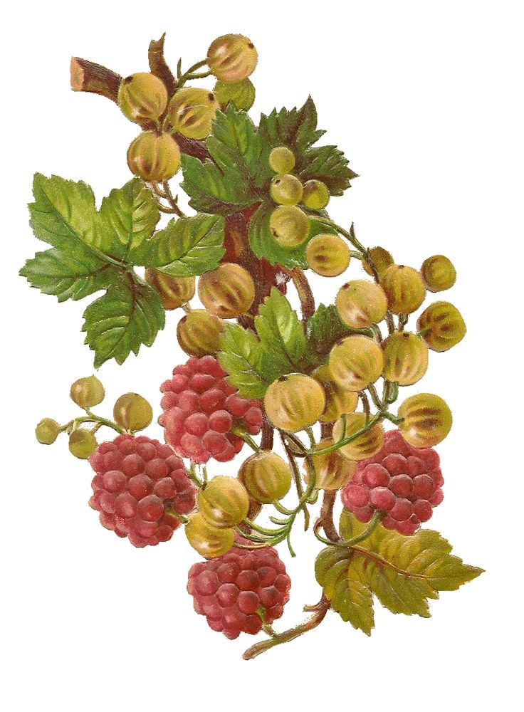 Clip Art: Fruits and Berries Branches Vintage Png no 040.