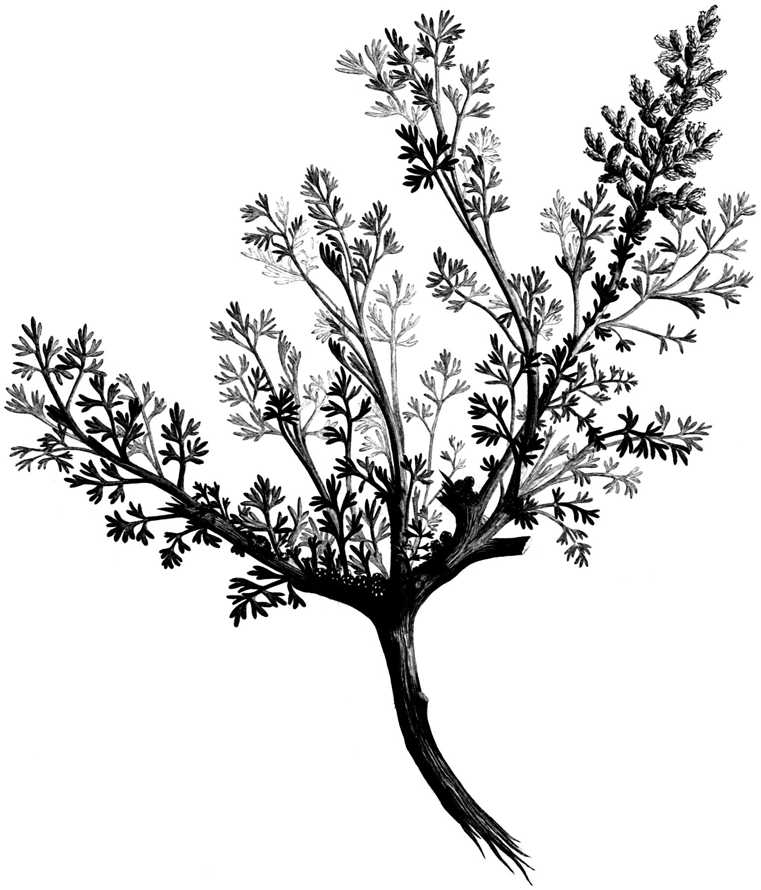 Vintage Black and White Leafy Branch Graphic!.