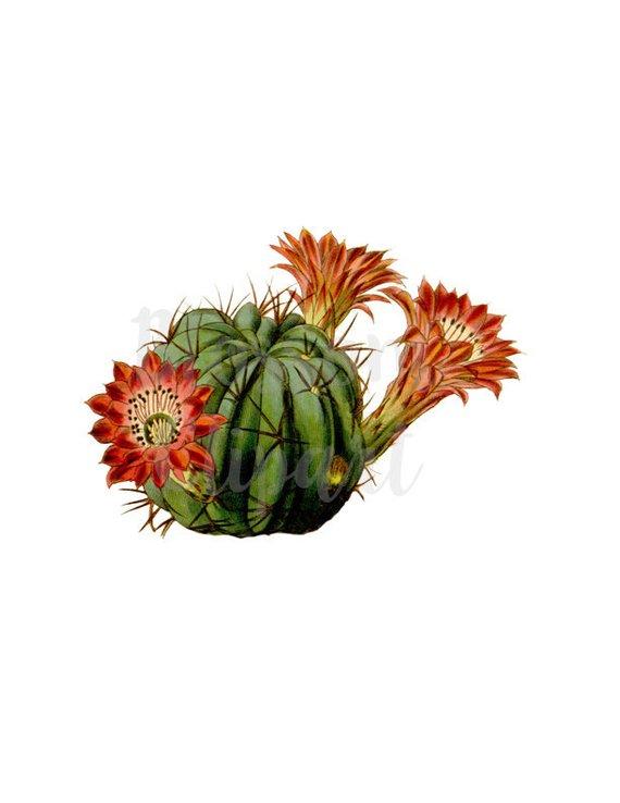 Vintage Cacti Illustration Clipart, Cacti VIntage Graphic.