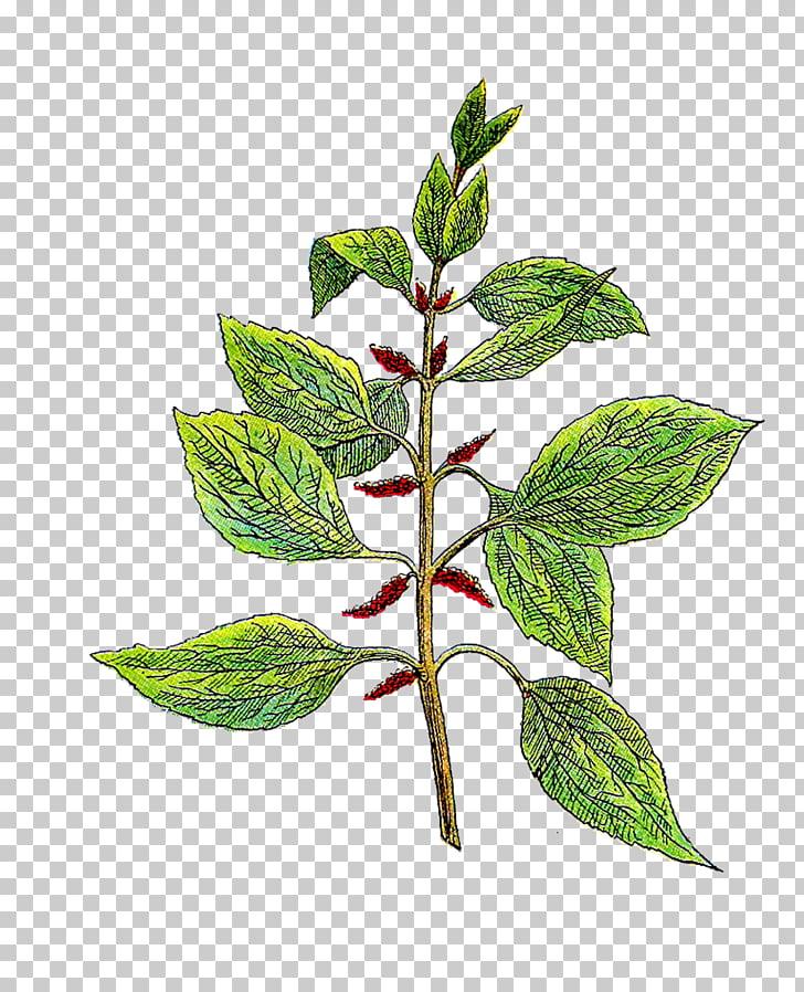 Botany Botanical garden Herb , Vintage Herb s PNG clipart.