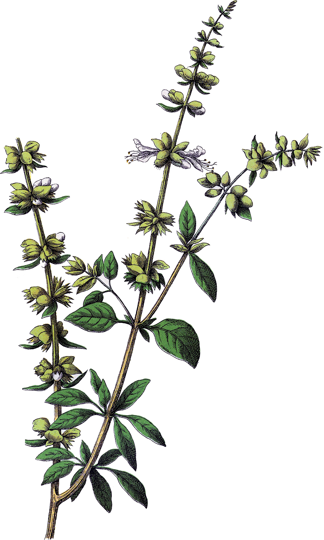 Free Vintage Herb Cliparts, Download Free Clip Art, Free.