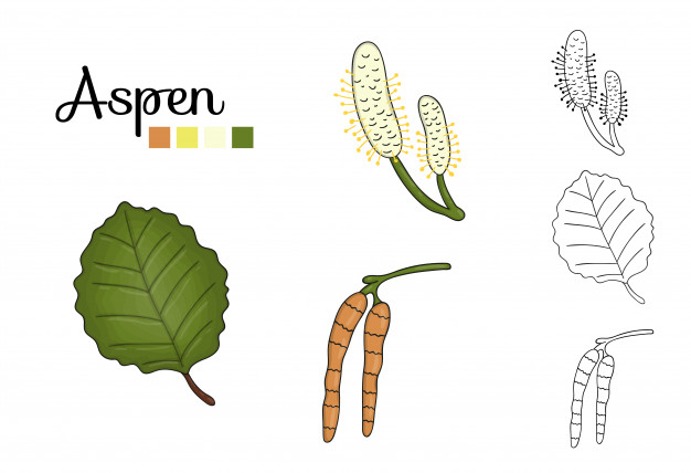 Vector set of aspen tree elements isolated . botanical.