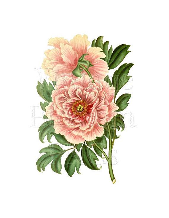 Peony Flower Clip Art, Vintage Graphic PNG Illustration.