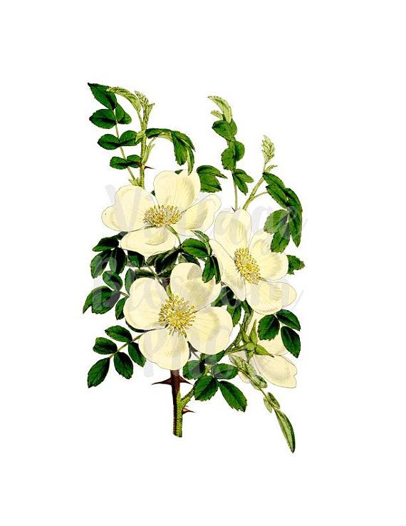Clipart Roses, PNG White Roses Vintage Clip Art for.