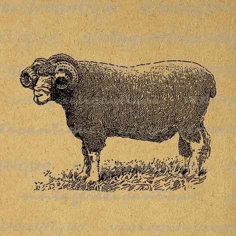 Dorset Ram Graphic Digital Download Illustration Sheep Image.
