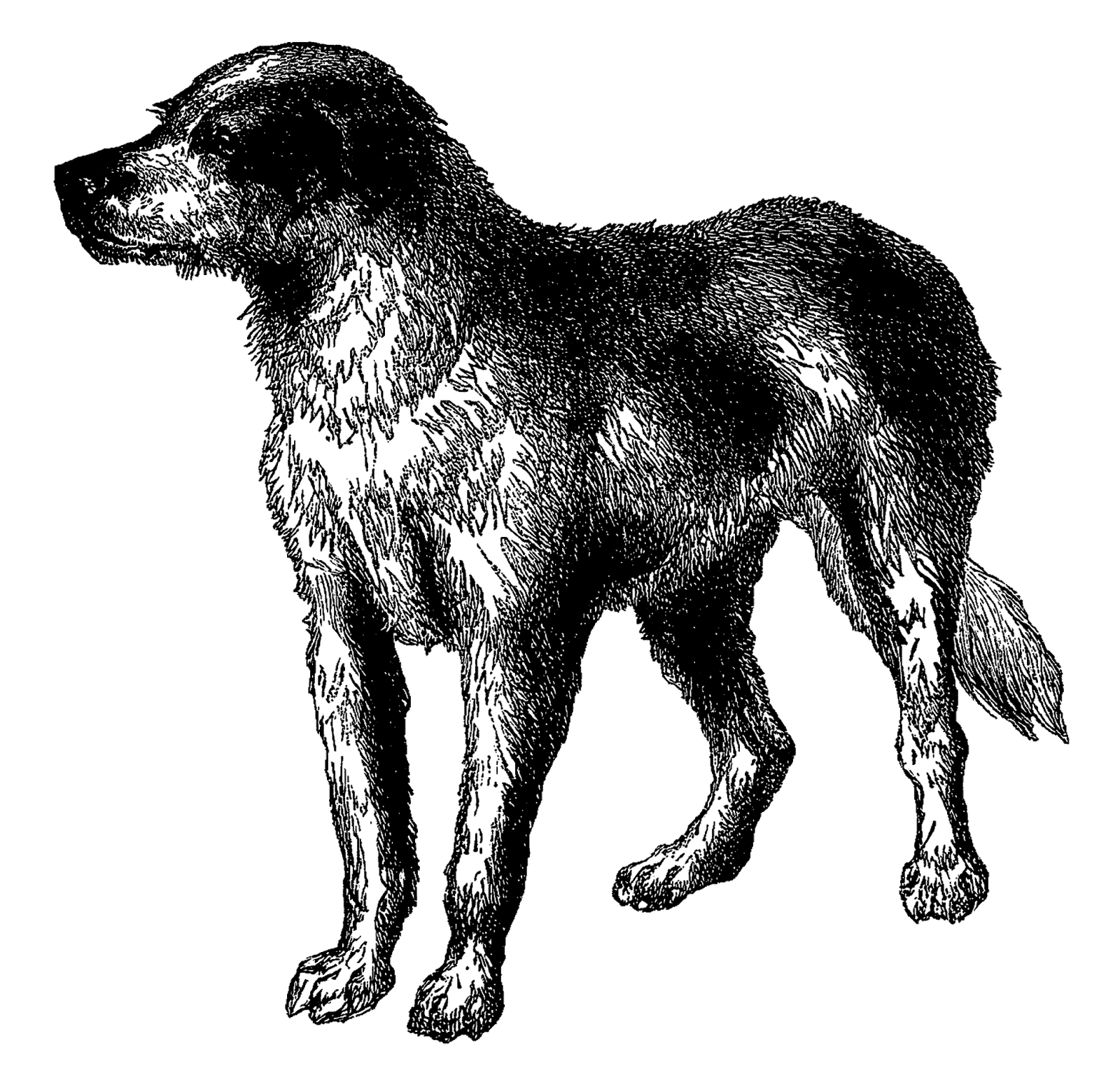 Antique Images: Vintage Dog Breed Boarhound Digital Download.