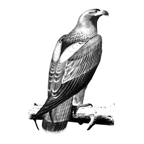 Vintage illustrations of Eastern imperial eagle.