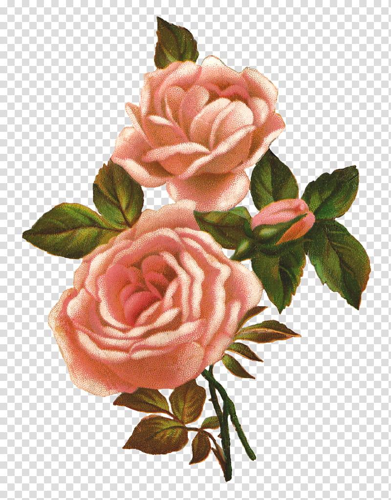 Vintage Flowers, pink rose flower art transparent background.