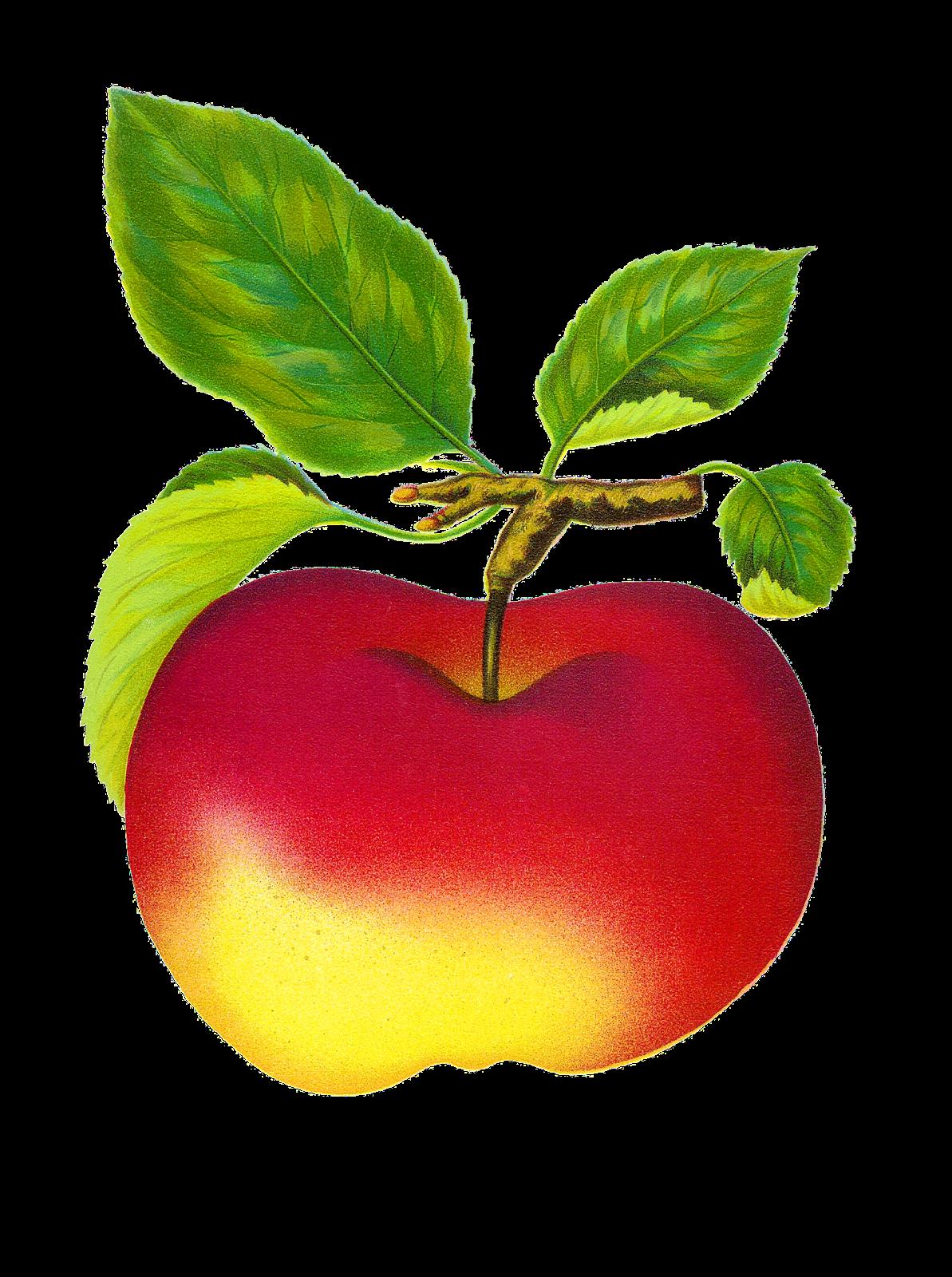 Antique Images: Free Digital Vintage Fruit Red Apple.