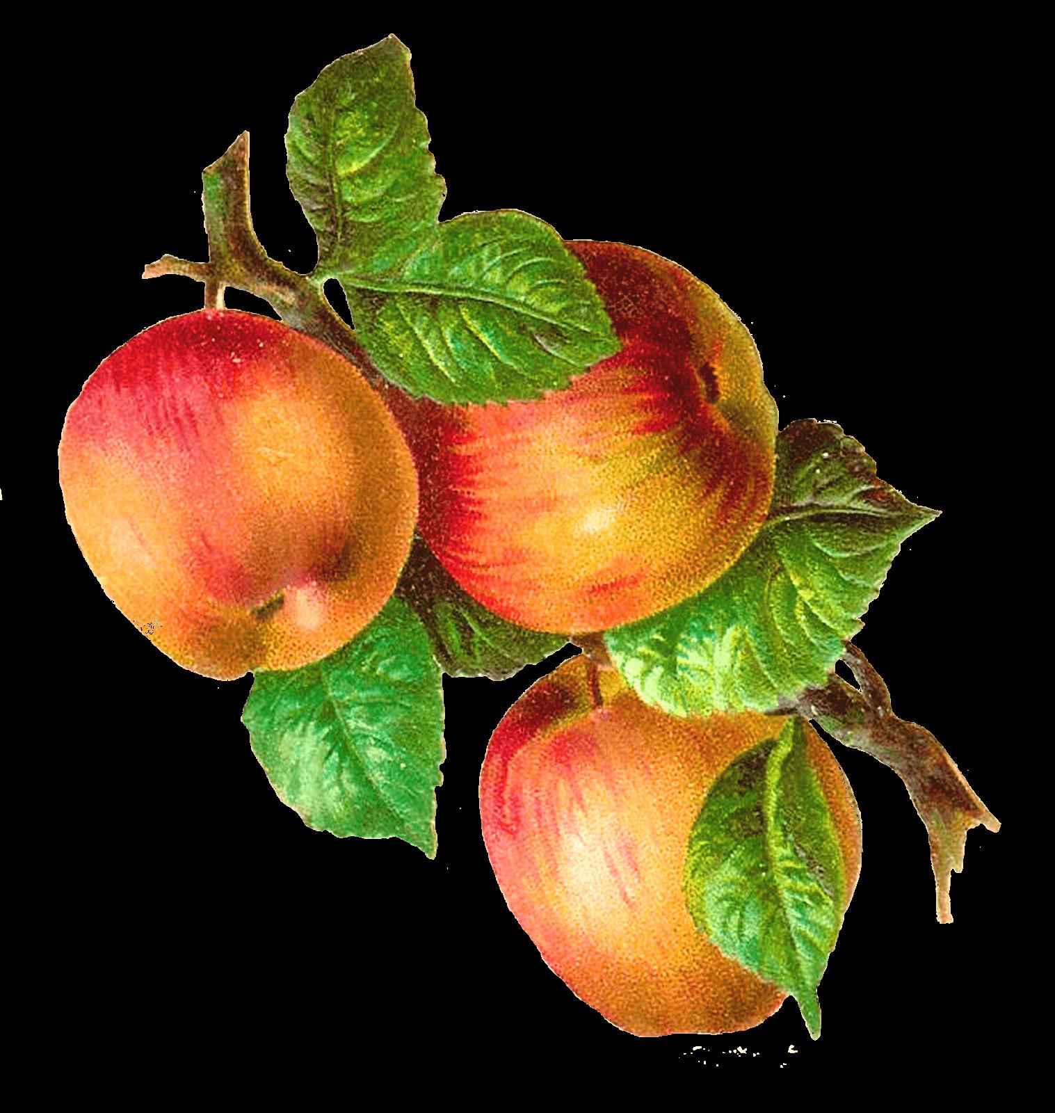 Apples On A Branch Vintage transparent PNG.