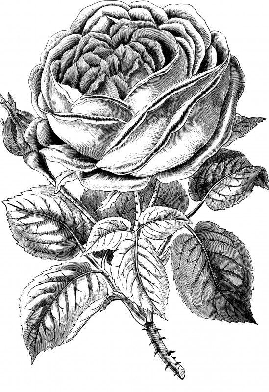 Free Vintage Rose Clip Art Image.