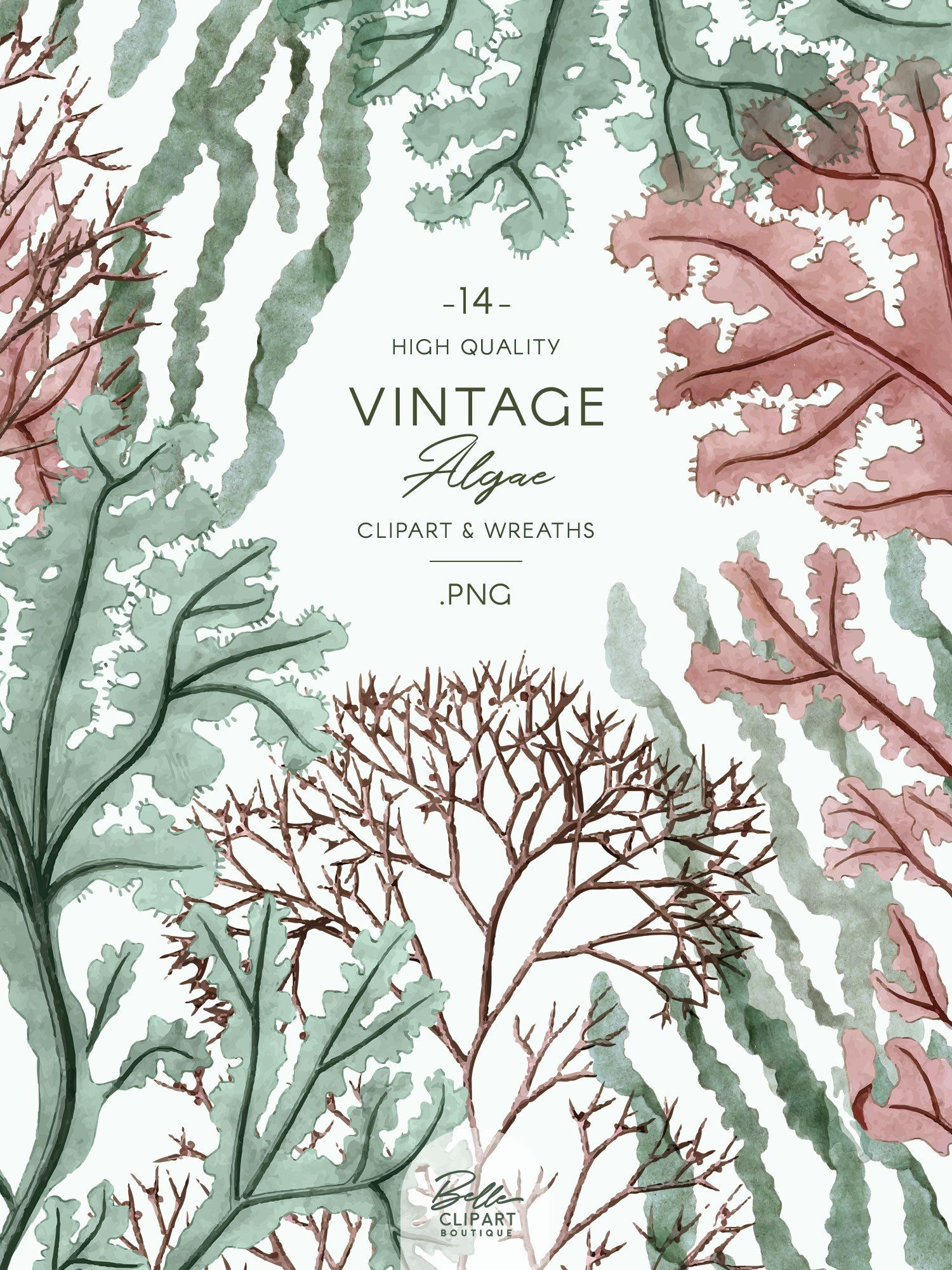Vintage Algae clip art, watercolor Seaweed illustrations.