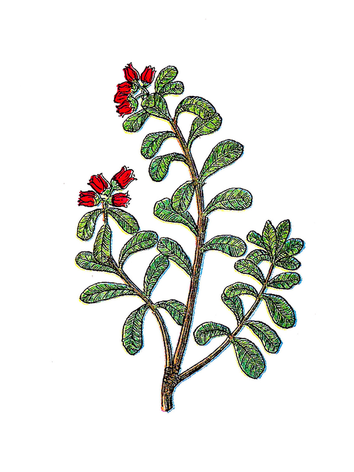 Clip Art: Vintage Herb.