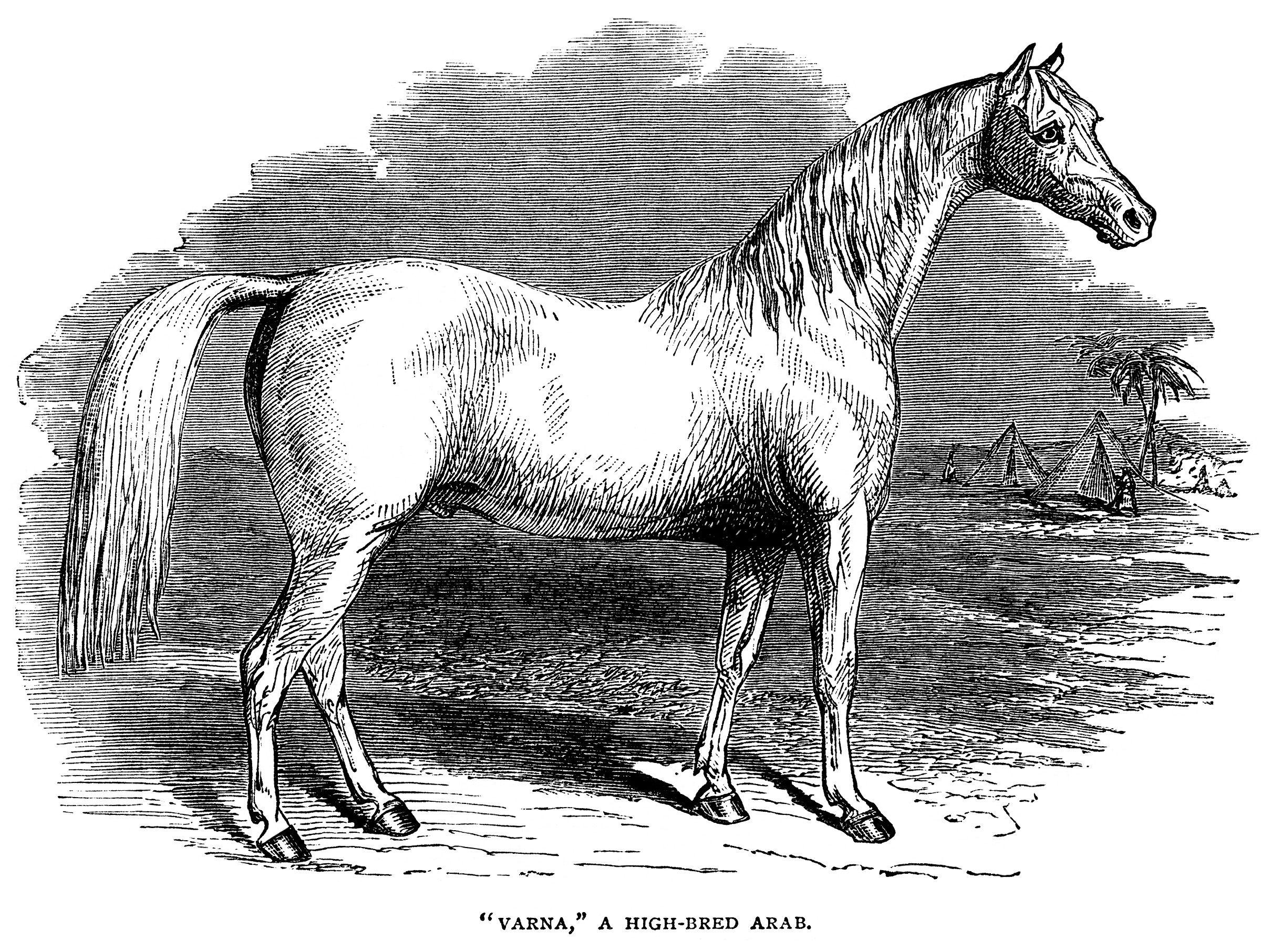black and white clip art, farm animal clipart, arab horse.