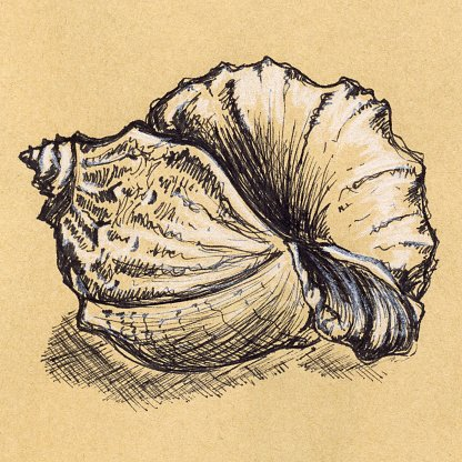 Vintage seashell sepia craft ink engraving sketch Clipart.