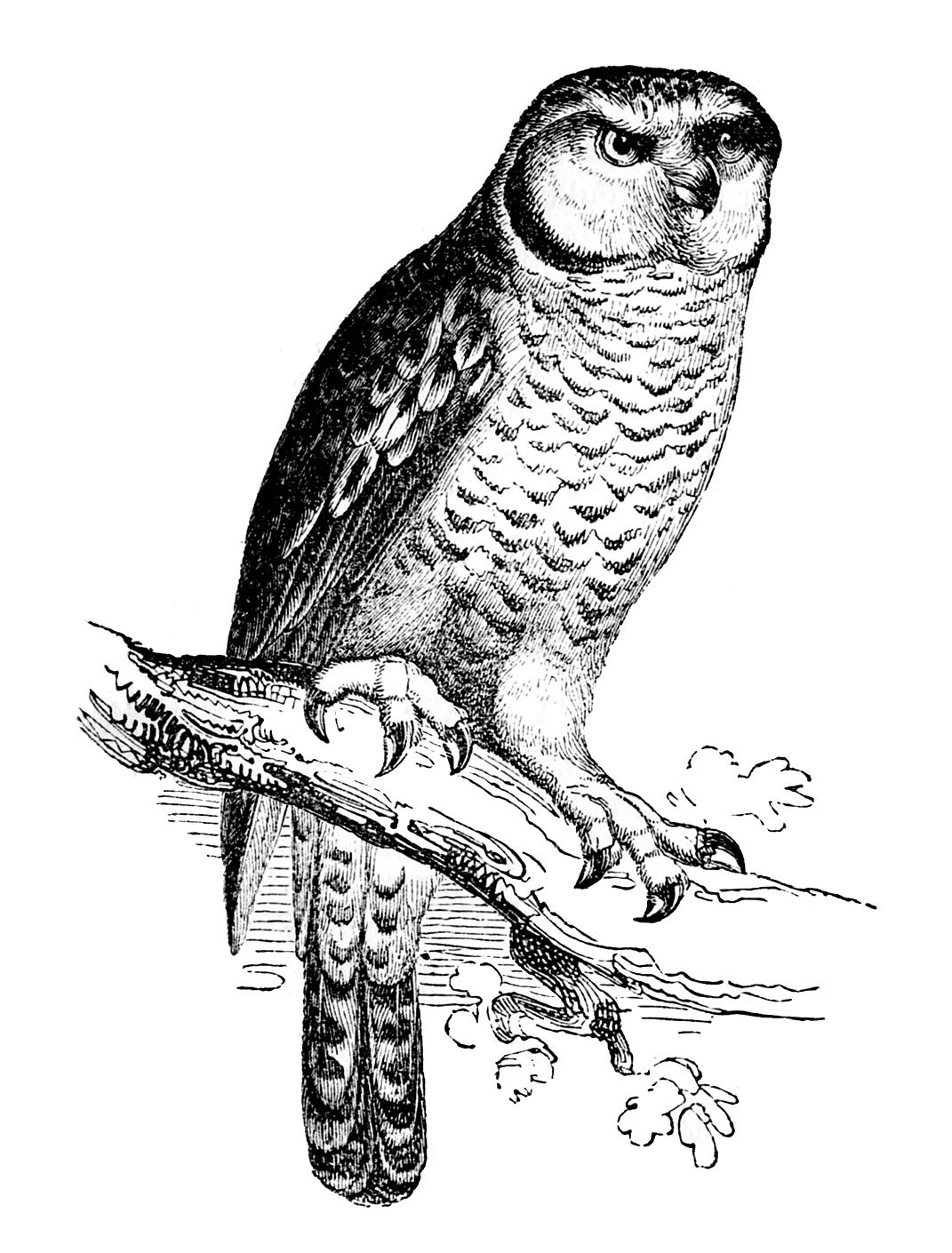 Vintage Owl Clipart.