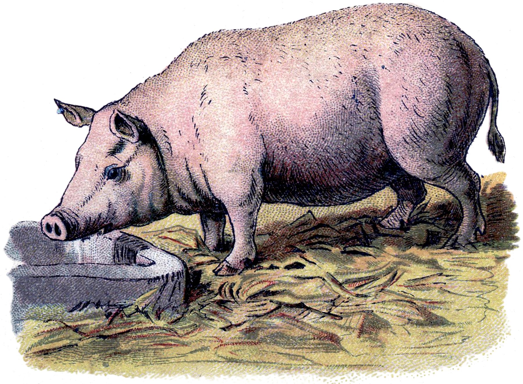 Vintage Pig Image!.