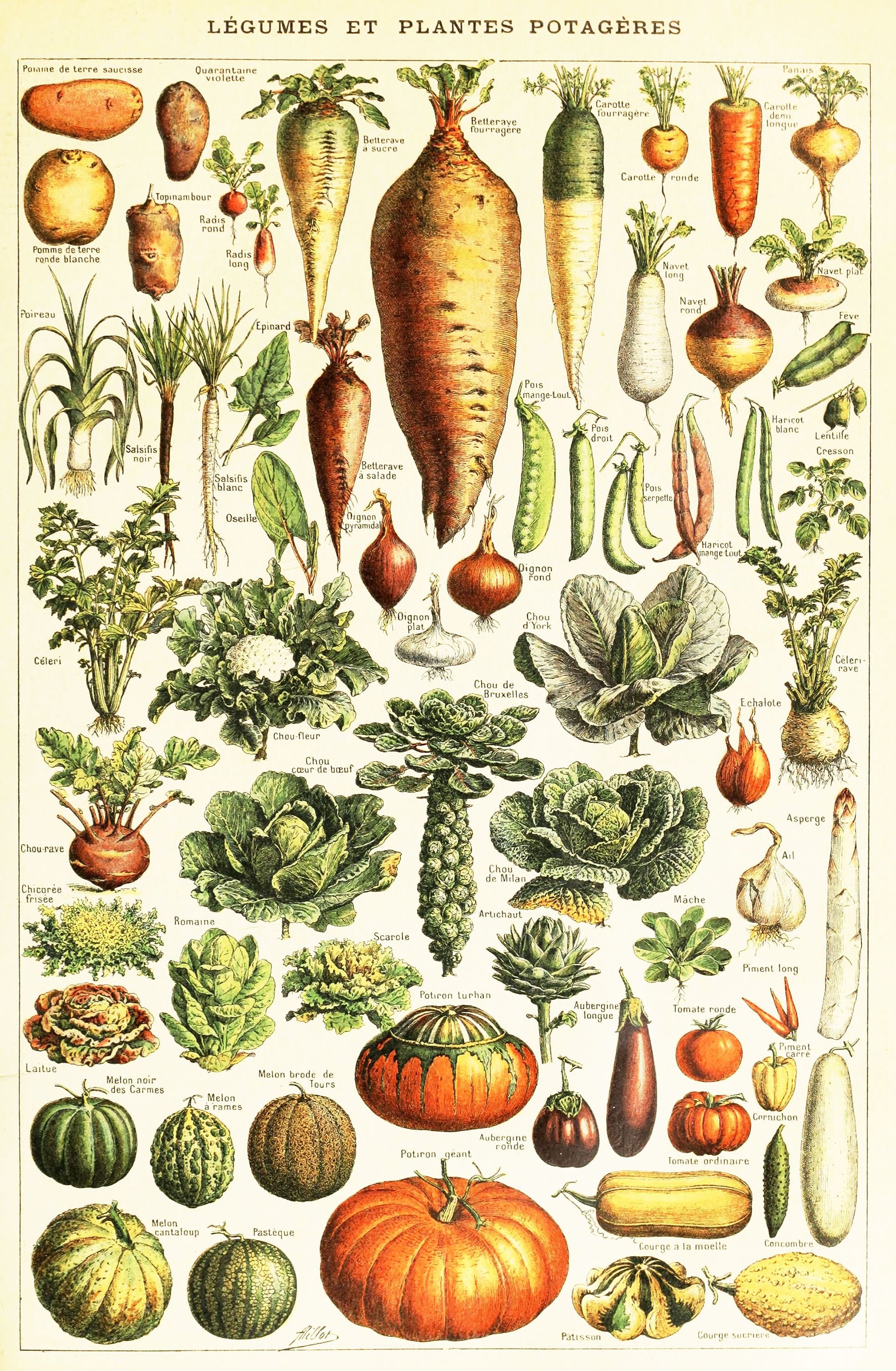 Vintage French Vegetables encyclopedia Clipart: High.