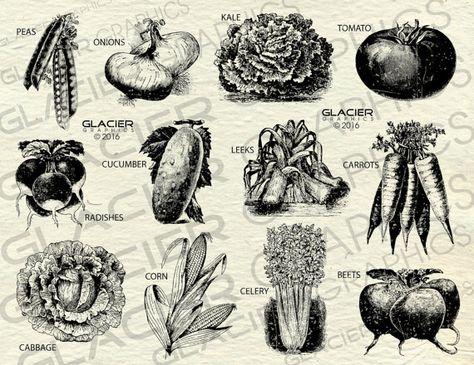 Vintage Farm Vegetable Illustrations ClipArt Printable Farm.