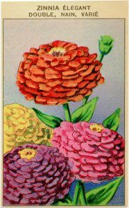 French Seed Packet Label Zinnia Free Vintage Clipart.
