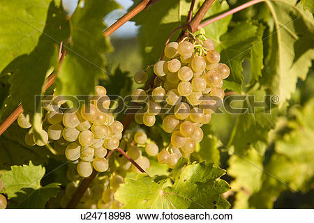 Pictures of Viognier grapes growing at vineyard at Puddicombe.