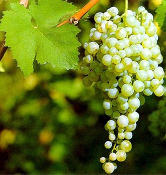1000+ images about Grapes on Pinterest.