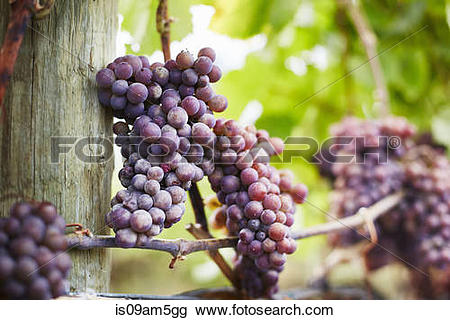 "Stock Photo of ""Close up of bunches of red grapes on vine, Kelowna."