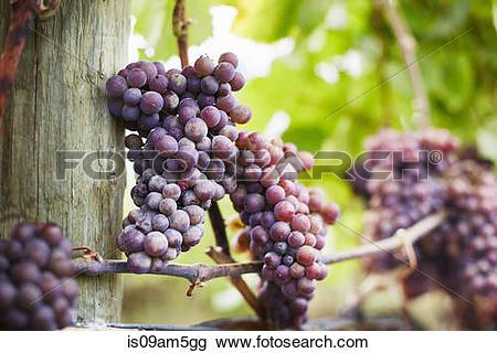 Viognier grapes clipart #11