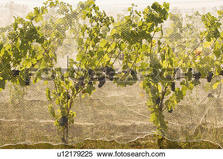 Stock Image of Netting used to protect grapes from birds at.