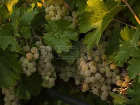 Viognier Grape Stock Photos, Pictures, Royalty Free Viognier Grape.