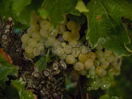 Viognier grapes clipart #14