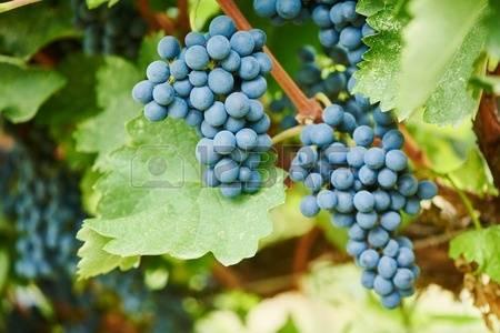 Viognier grapes clipart #10