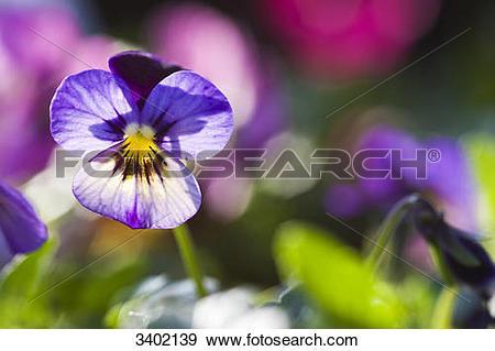 Stock Photograph of Horned violet, Viola cornuta 3402139.