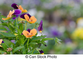 Stock Image of Viola cornuta, horned pansy, tufted pansy.