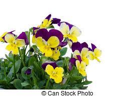 Stock Photo of Viola cornuta flower isolated on white background.