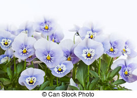 Picture of Horned Violet, Horned Pansy, Viola cornuta \'Four.