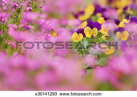 Stock Photo of Horned violets (Viola cornuta) and forget.