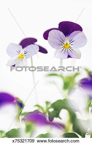 Stock Photograph of Horned pansy or Horned violet (viola cornuta.