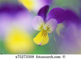 Viola Images and Stock Photos. 13,390 viola photography and.