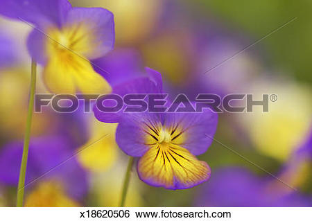 Stock Images of Horned pansy or horned violet (Viola cornuta.
