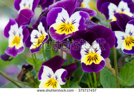 Viola Stock Images, Royalty.