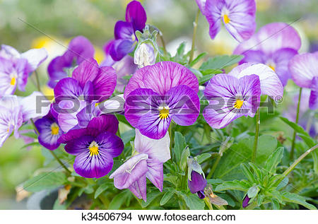 Stock Photo of Viola cornuta, horned pansy, tufted pansy k34506794.